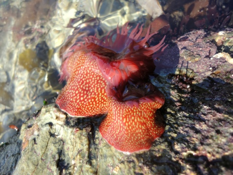 Strawberry anemones on a partly submerged rock