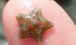 Asterina phylactica cushion star