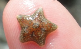 A tiny cushion star found in Cornish Rock pools.