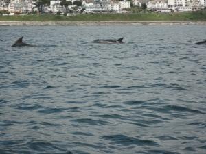 Dolphins at Hannafore, Looe