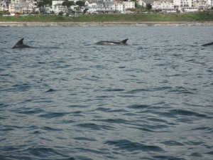 Bottlenose dolphins probably Looe