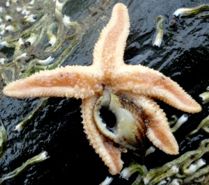 Underside of starfish as it tucks in to a netted dog whelk.