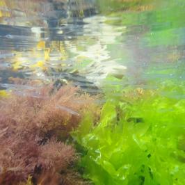 Shoal of fish in a Cornish rock pool near Porthcothan