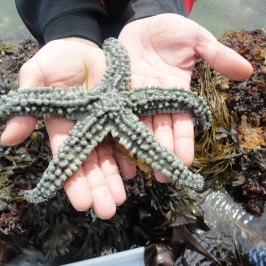 Spiny starfish