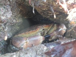 Edible crab hiding in a rock crevice.