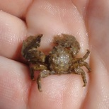 Broad clawed porcelain crab, Cornwall.