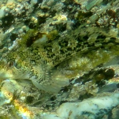 Shanny, a type of blenny with underwater rainbow in a Cornish Rock Pool.