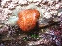 Strawberry anemone.