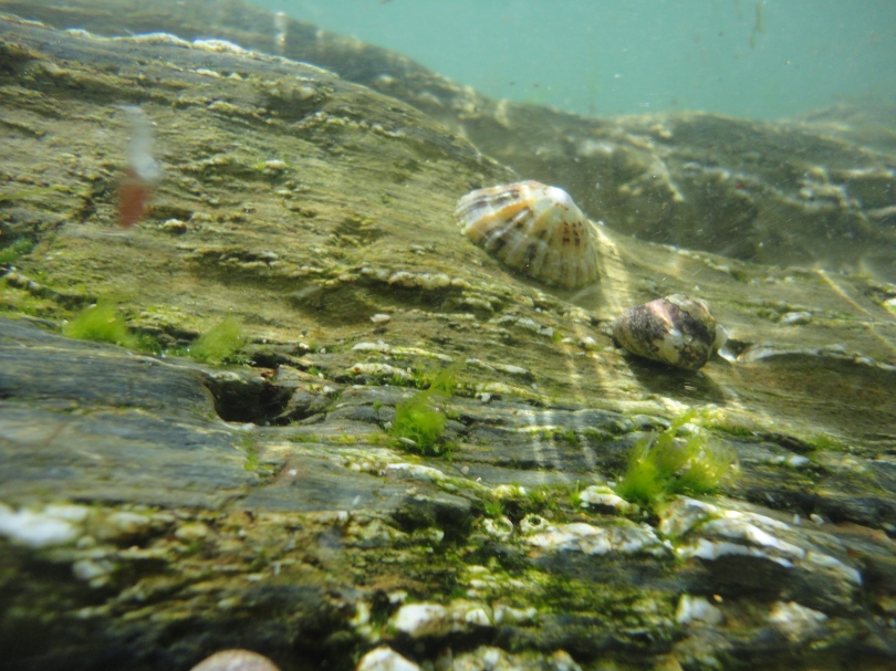 Limpet and top shell in a Cornish rock pool. Castle Beach.