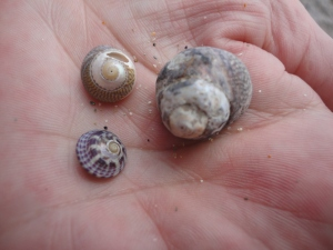 Purple, grey and toothed top shells