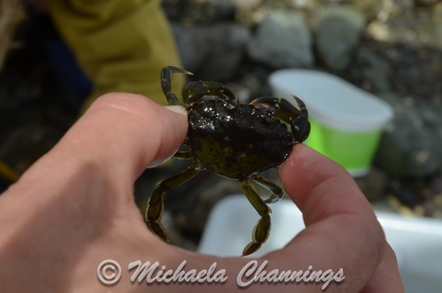 Green shore crab in Cornish Rock Pool. By Michaela Channings