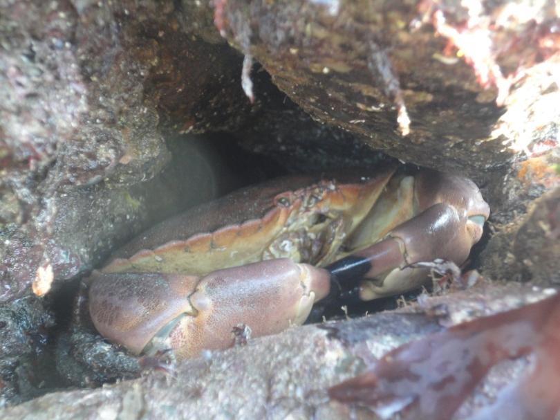 Edible crab in a Cornish Rock Pool. Cornwall.