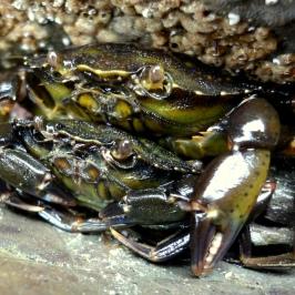 Green shore crab couple