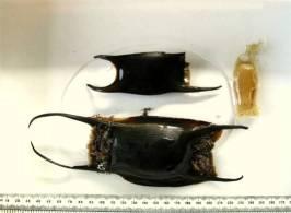 Mermaid's purses, Mawgan Porth.