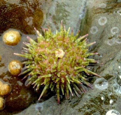 Shore urchin