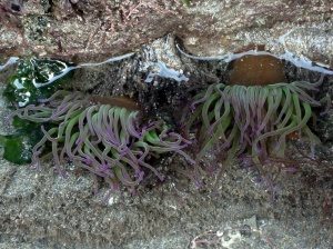 Snakelocks anemones in Cornish rock pool