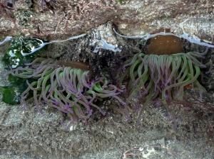 Snakelocks anemones in Cornish rock pool