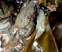 Velcet swimming crab