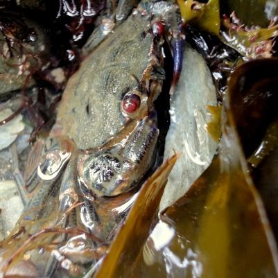 Velcet swimming crab