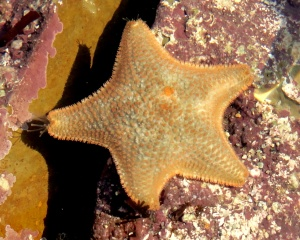 Cushion star in a Cornish Rock Pool, Castle Beach.