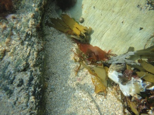 Cornish Rock pool, dragonet