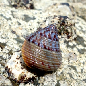 Painted topshell in Cornish Rock Pool