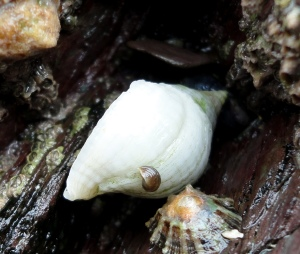 Dog whelk in Cornish Rock Pool