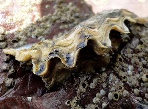Side view of Pacific Oyster in Cornish Rock Pool