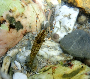 Common prawn, Cornish Rock pool