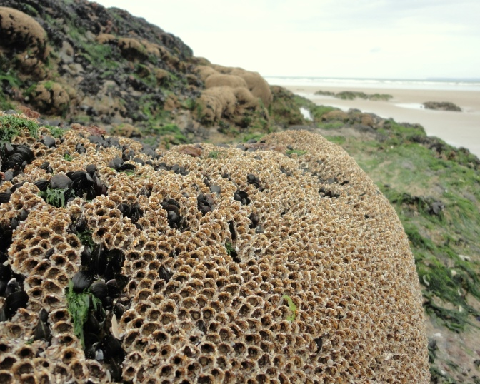 Honeycomb worm reef at Ste Anne, Cornish Rock Pools