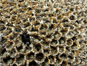 Honeycomb worm reef. Cornish rock pools.