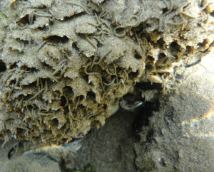 Honeycomb worm reef, Cornish Rock Pools