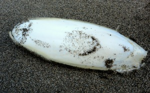 The internal pen of a cuttlefish on the shoreline