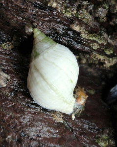 Dog whelk next to its prey - a limpet