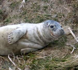 Seal pup, Cornish Rock Pools