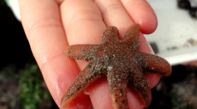 Seven-armed starfish