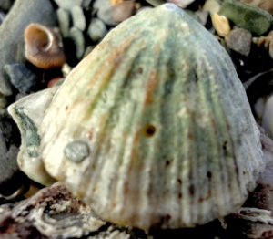 This limpet has a tiny hole made by a dog whelk