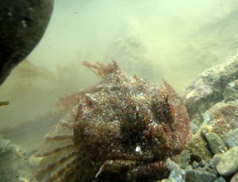 A scorpion fish lurking in a pool