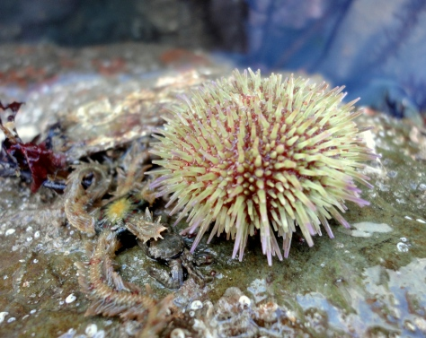 A shore urchin and a brittle star on 'echinoderm rock'.