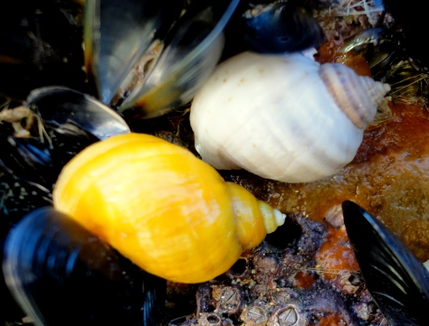 Dog whelks come in many different colours