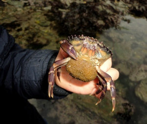 Holding a one-clawed green shore crab with eggs under her tail