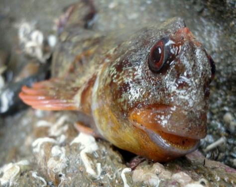 Tompot blenny - a fantastically photogenic fish