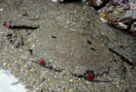 A velvet swimming crab hiding in sand