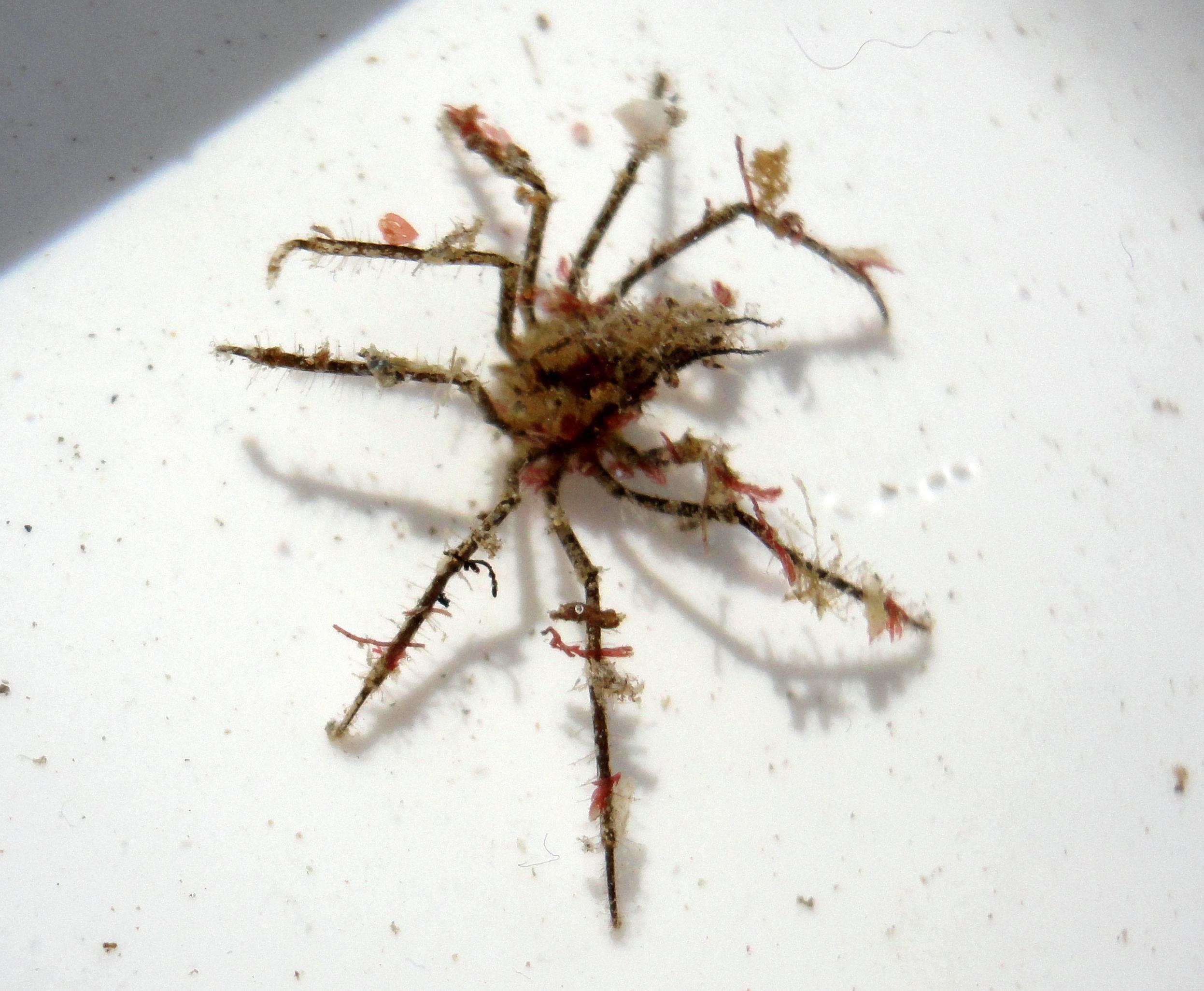 Decorator spider crab