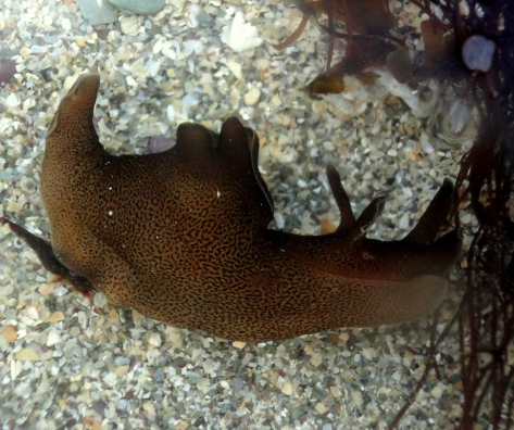 A sea hare arrives on the shore.