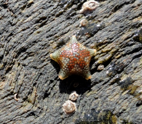The tiny Asterina phylactica starfish