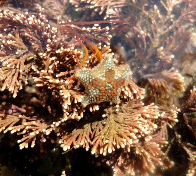 Asterina phylactica starfish in a Cornish rock pool at Plaidy