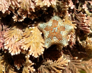 Asterina phylactica are easily recognised by the little circles of colour which often form a dark central star shape