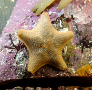 You might be the first to record a common species like this cushion star in your location