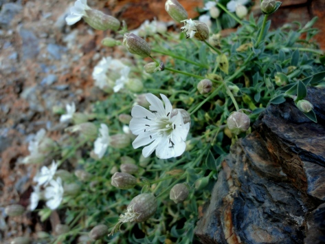 Sea campion at Mawgan Porth mine